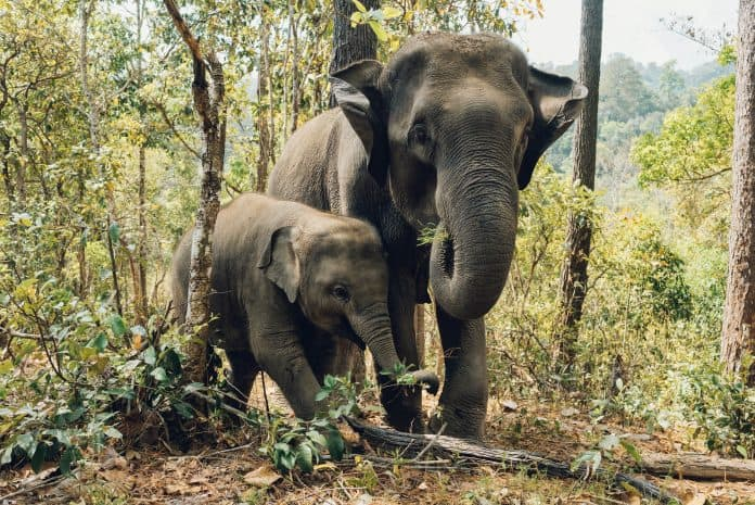 Elephant with baby in the woods