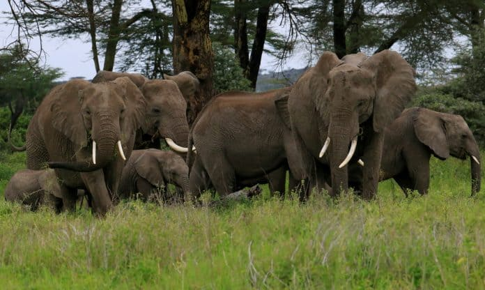 Elephants in Kimana Sanctuary, part of a crucial wildlife corridor that links the Amboseli National Park to the Chyulu Hills and Tsavo protected areas