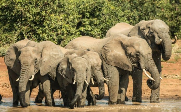 Elephants drinking water, photo by Charl Durand on Unsplash