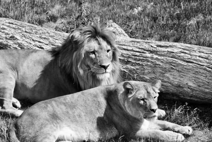 Lions, photo: Ilona Froehlich on Unsplash