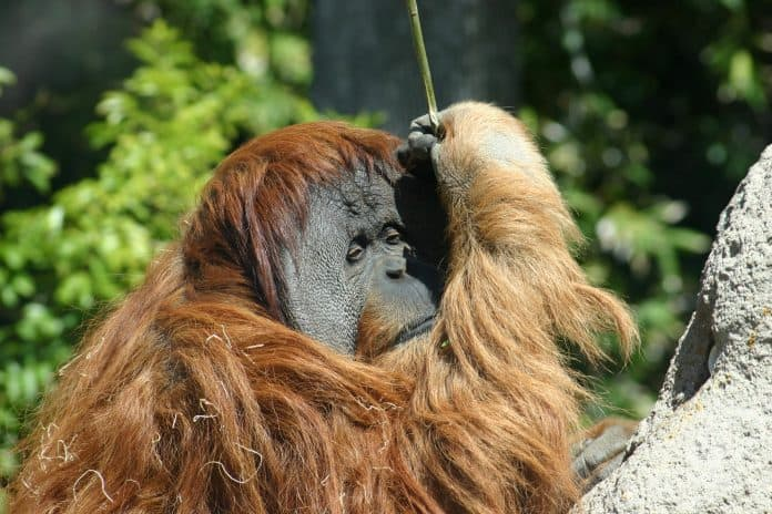 Orangutan at San Diego Zoo, photo: James Lee on Unsplash