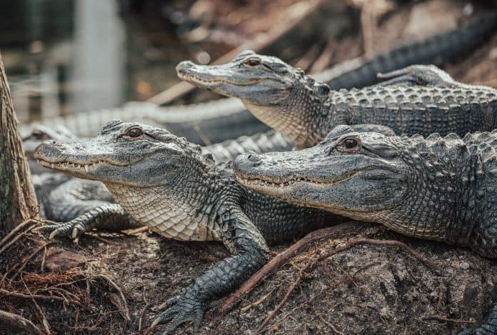 Crocodiles, photo: Kyaw Tun on Unsplash