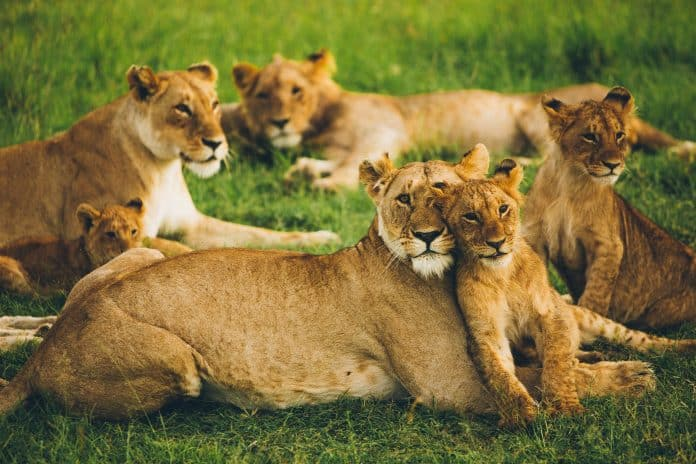 Lions at nature park, photo: Leonard von Bibra on Unsplash