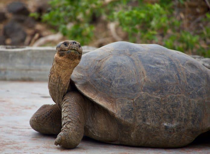 Galápagos tortoise, photo: Magdalena Kula Manchee on Unsplash