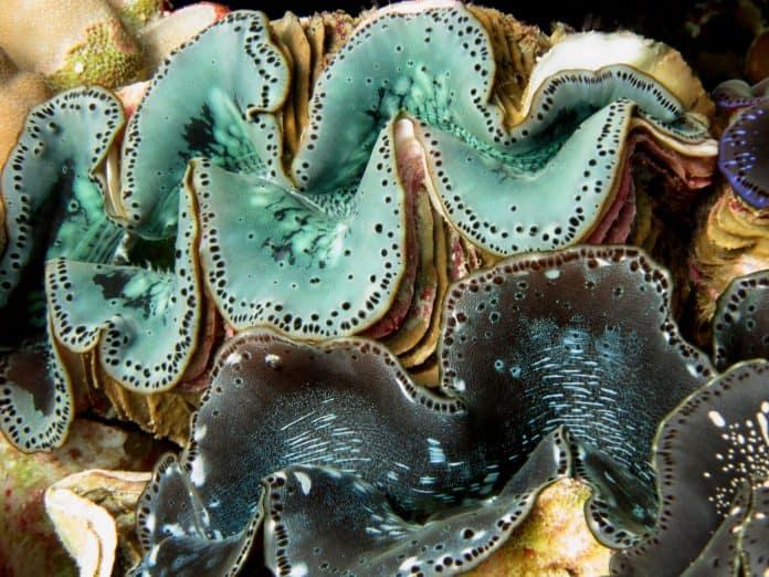 Giant clam, photo: NOAA on Unsplash