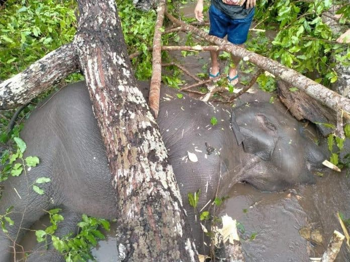Dead elephant under trees in Thailand, photo: Facebook post Save Elephant Foundation