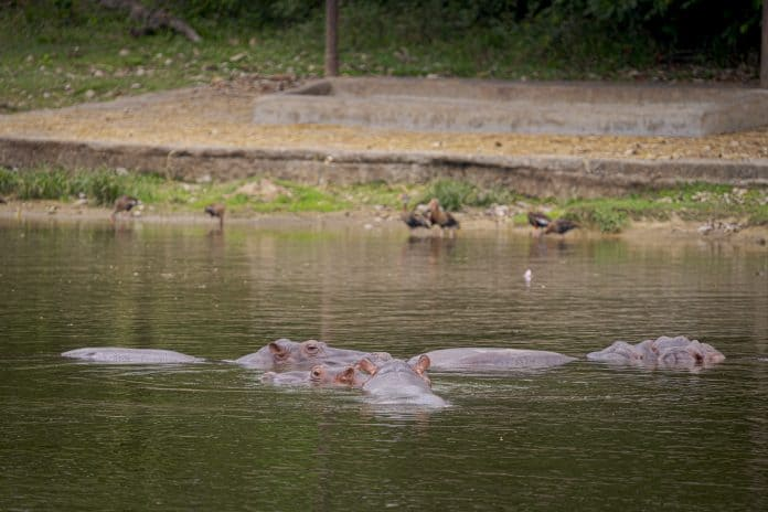 Hippos in river in Colombia, photo: DPA
