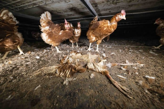 These 'code 2' chickens will never see daylight, photo: L214/ Abaca/Reuters