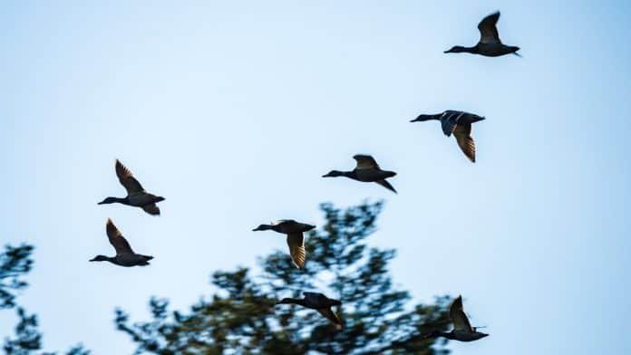 Flying wild birds