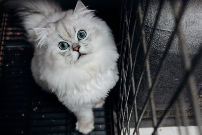 Fluffy white cat, photo: chanroro on Unsplash