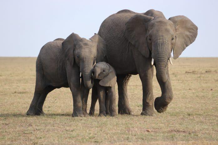 Elephants, photo by David Heiling on Unsplash
