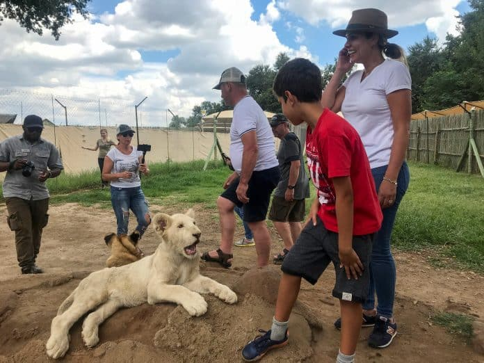 Lion cub forced to entertain tourists, Lion and Safari Park, credit: Reuters/Tim Cocks/File Photo