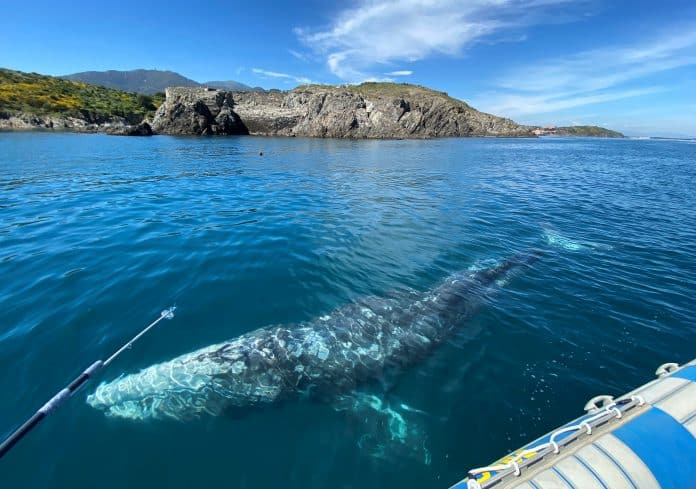 Wally, the young starving gray whale, swimming in the Mediterranean Sea, photo: Reuters/Alexandre Minguez