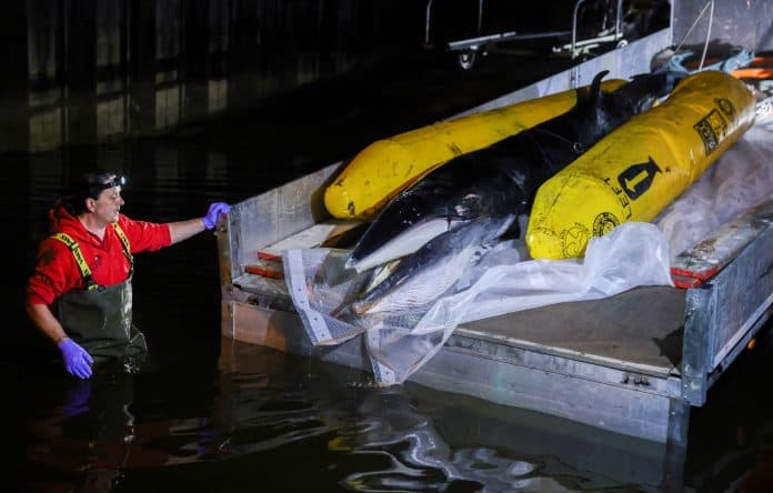 Minke whale calf is put down and placed on a boat