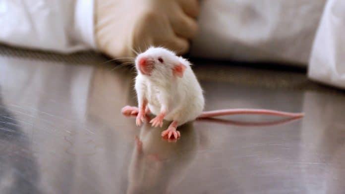 Mouse at a laboratory, photo: Canva