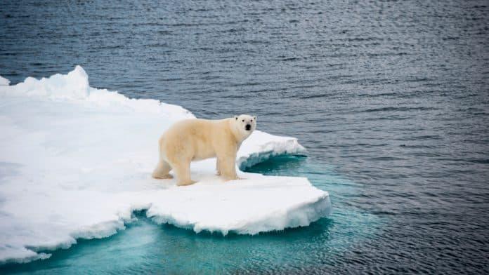 Polar bear walking on sea ice in the Arctic, photo: Vladsilver via Canva
