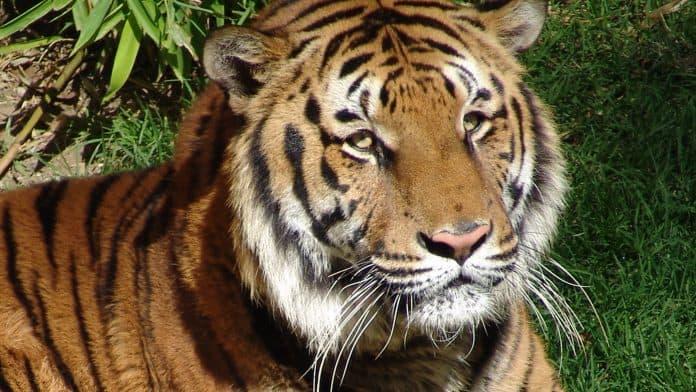Tiger, photo: carlosvilchis via Canva