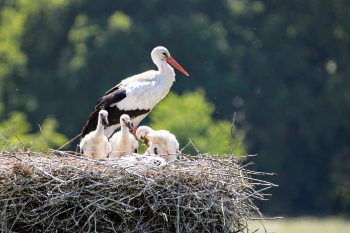 Stork with babies, photo: Maurice Schalker on Unsplash