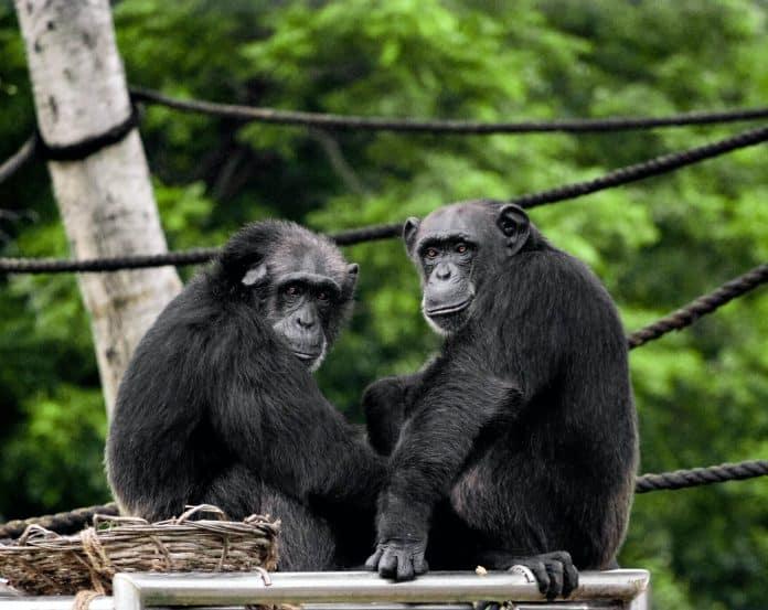 Chimpanzees at a zoo, photo: satya deep on Unsplash