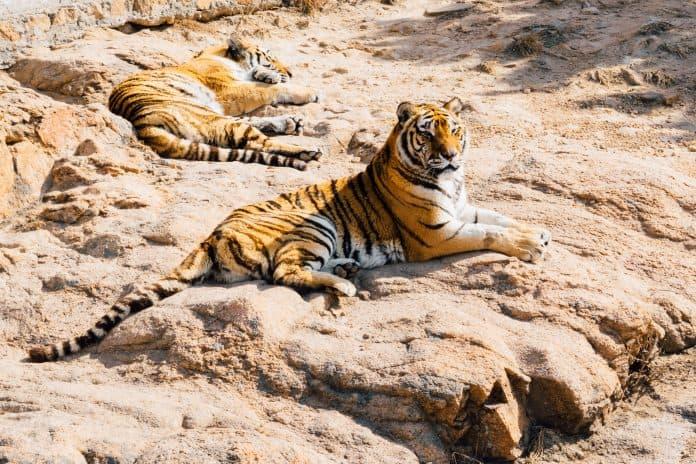 Two tigers resting on a rock, photo: Shengjun Shi on Unsplash