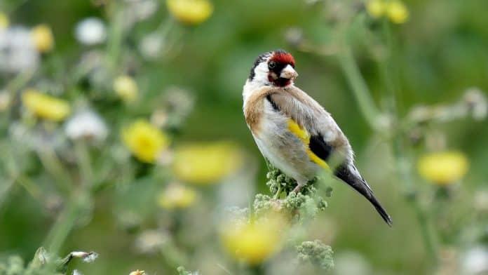 European goldfinch, photo: Andrea Lightfoot on Unsplash