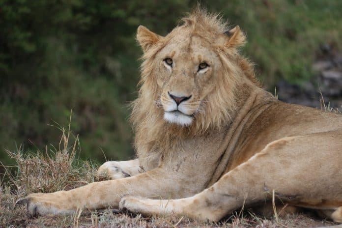 Male lion looking into camera