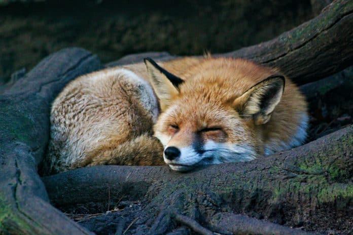 Sleeping fox, photo: Dušan veverkolog on Unsplash