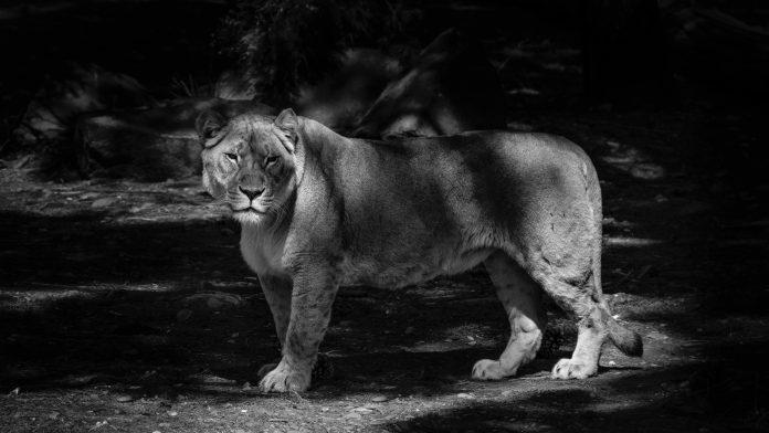 Lion, photo: Hamish Weir on Unsplash