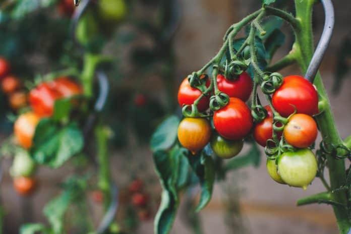 Pesticide and GMO free tomatoes, photo: Markus Spiske on Unsplash