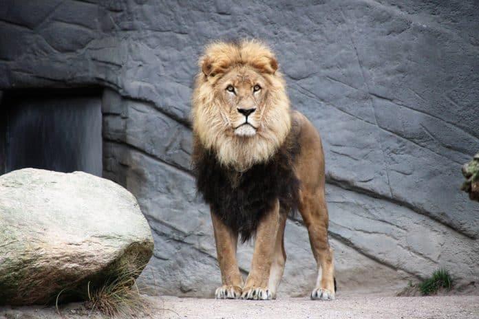 Lion at a zoo, photo: Mika Brandt on Unsplash