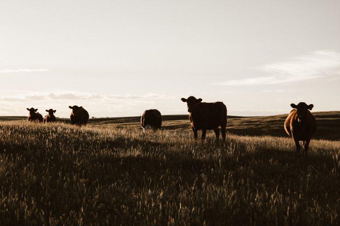 Cows, photo: Priscilla Du Preez on Unsplash