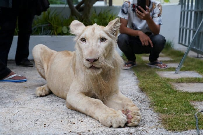 The declawed and defanged lion returned home after he was rescued, Cambodia, photo: Reuters/Cindy Liu