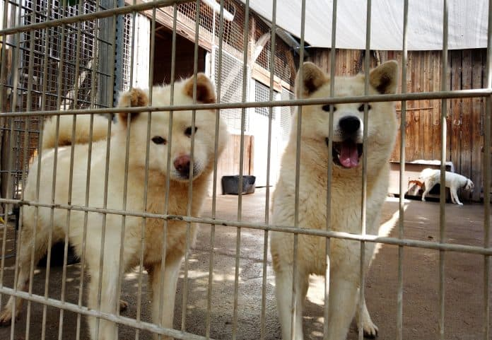 Two white fluffy dogs behind bars at an animal shelter in Germany look into the camera
