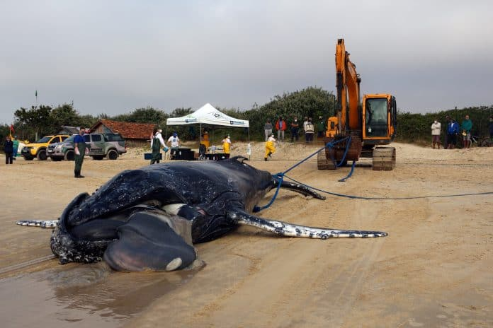 A dead humpback whale is removed on Campeche beach in Florianopolis, Brazil, July 9, 2021, photo: Nilson Coelho/R3 Animal/Reuters