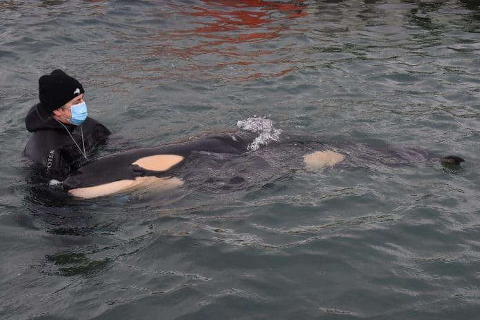 Volunteers help care for baby orca To a who has lost his family in Wellington, New Zealand, July 13, 2021, source: AAP Image/Ben McKay/via Reuters
