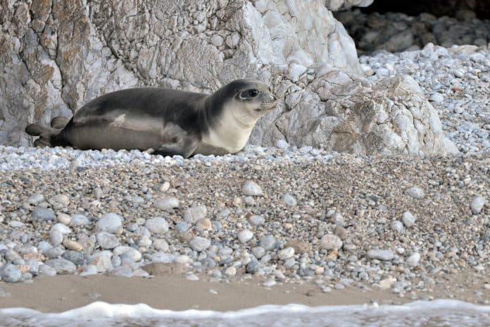 The monk seal Kostis when he was released into the wild, Greece, February 1, 2019, credit: Panagiotis Dendrinos/MOm/via Reuters