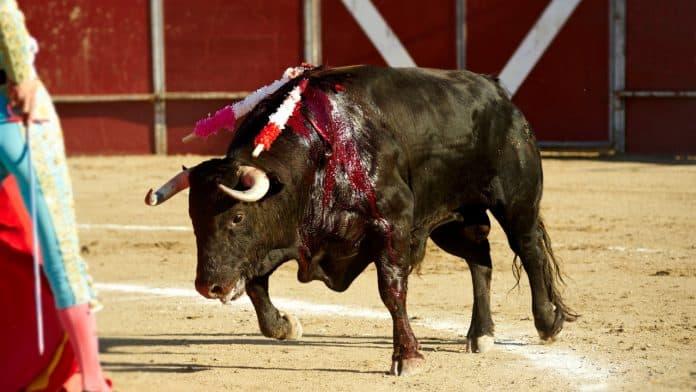 Bull is brutally killed during bullfighting event, photo: Syldavia via Canva