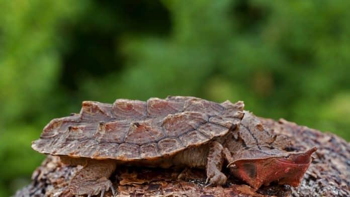 Matamata turtle, photo: Mark Kostich via Canva