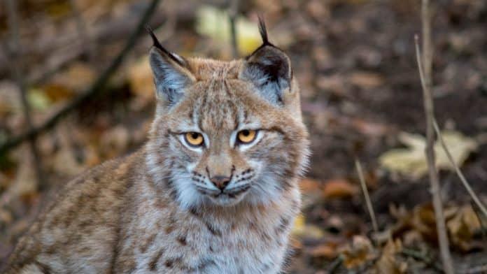 Balkan lynx, photo: Jan Mengr via Canva