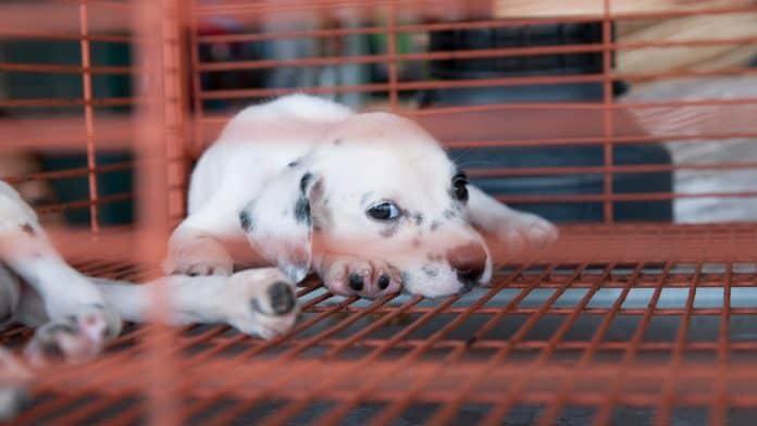 Puppy for sale, photo: Brasil2 via Canva