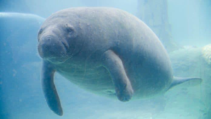 Manatee under water, photo: Dave Long Media via Canva