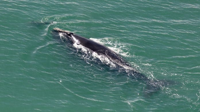 North Atlantic right whale swimming in the ocean