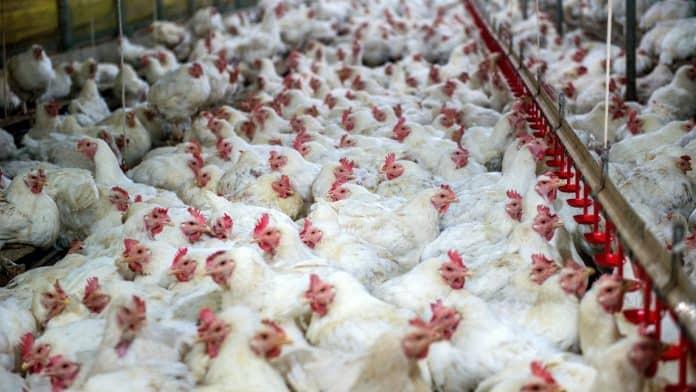Chicken farm, photo: Canva