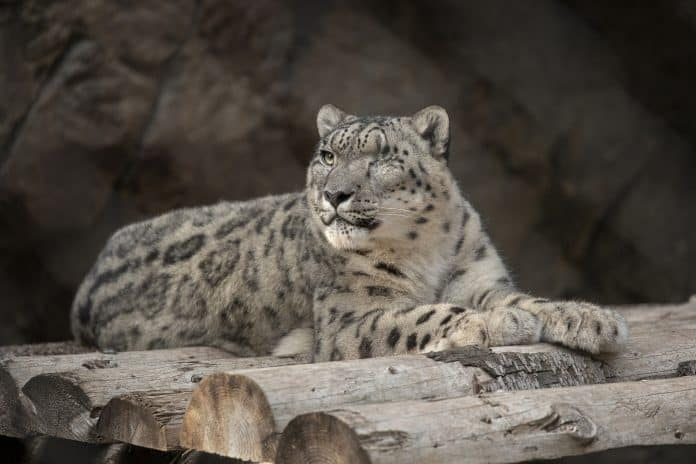 Snow leopard Ramil sitting on rock, he is missing his left eye which was removed after an eye infection