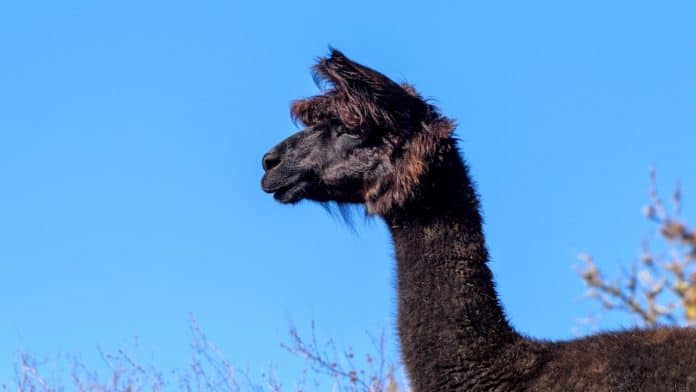 A black alpaca from his side with a blue sky behind.