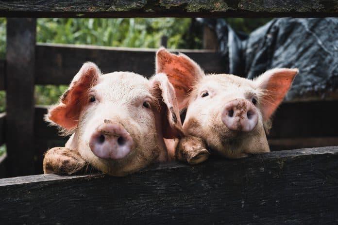 Pigs, photo: Kenneth Schipper Vera on Unsplash