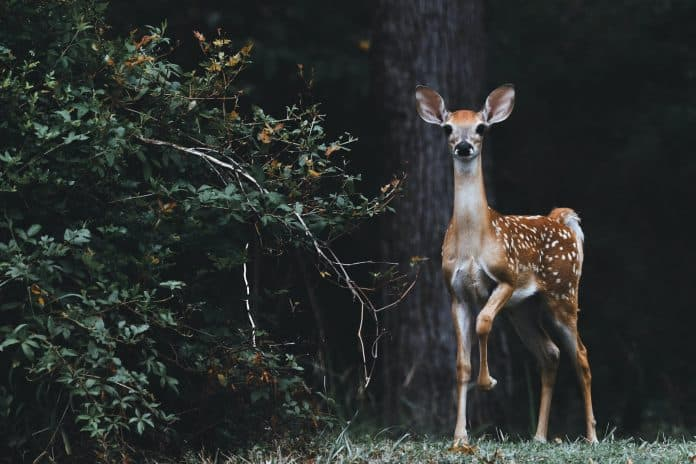 Young deer with beautiful ears that are up looks straight into the camera, scared eyes, in the woods