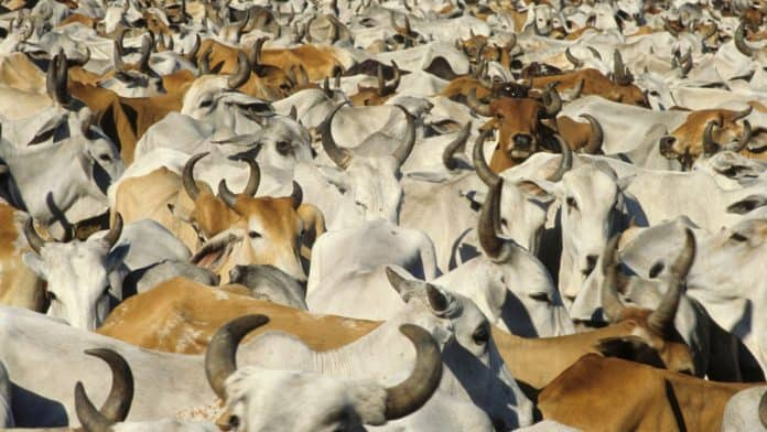A lot of brown and white cows together