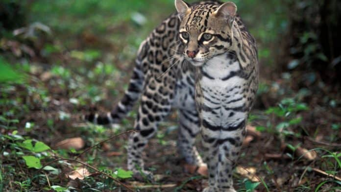 A cat like animal walking in the forest