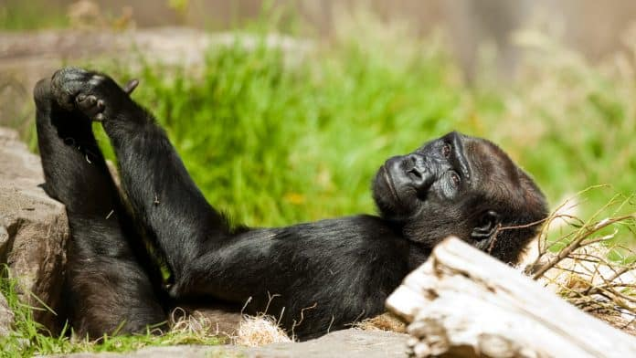 Gorilla lying on her back in the grass at a zoo